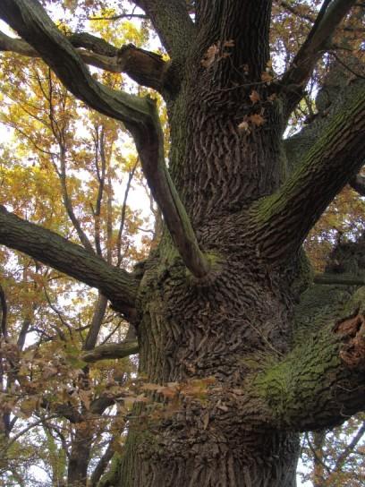 alter Baum mit knochigem Ast