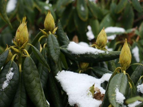 Knospen mit Schnee