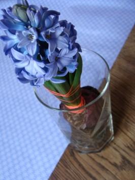 Blaue Hyazinthe mit blauem Papier