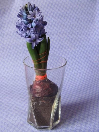 Hyazinthe mit Neonband im Glas