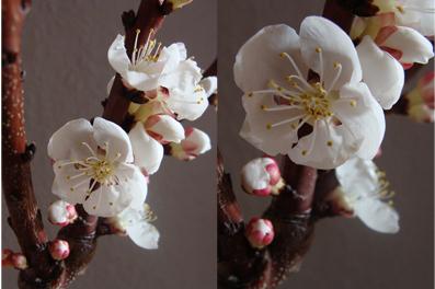 Blüte Aprikosenzweig